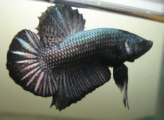 Cara Pembenihan Budidaya Ikan Cupang Alam Ikan