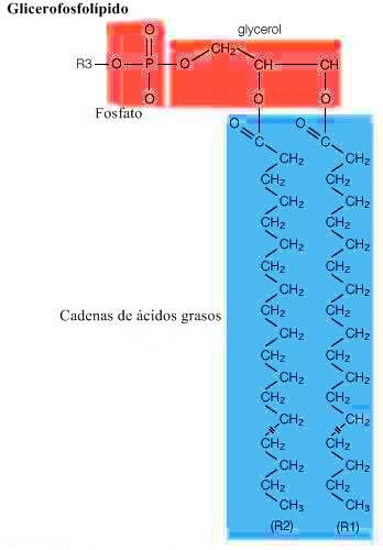 Glicerofosfolípido: Fórmula estructural general de un glicerofosfolípido