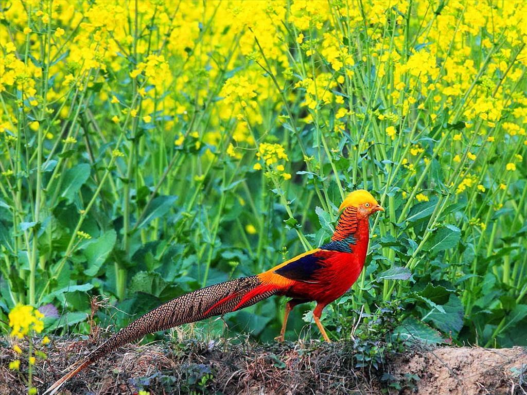 Chim trĩ 7 màu đỏ (Red Golden Pheasant) - Hình 1