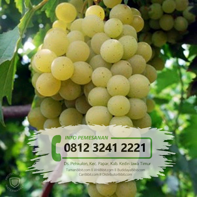 53 Gambar Anggur Jawa Paling Bagus