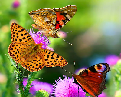 amazing-butterfly-hd-image