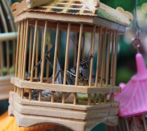 bukan hanya sanggup dilakukan dengan bunyi dari jenis burung lainnya Teknik Jitu Memaster Burung Kicauan dengan Serangga Belalang