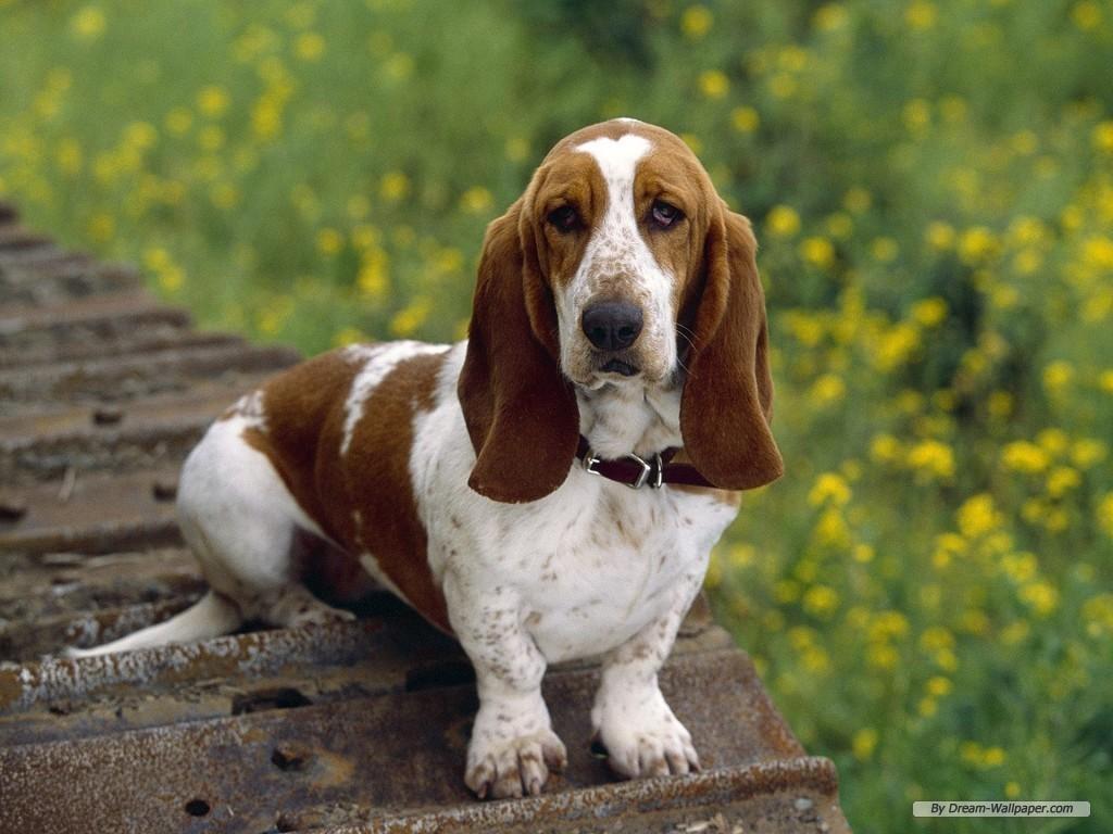 The dog in world: Basset Hound dogs