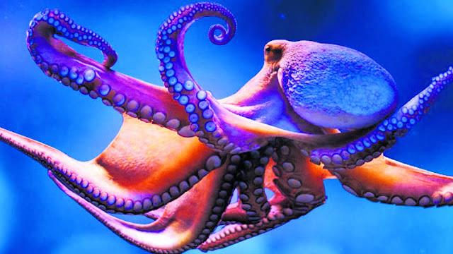 Extraordinary Octopus Takes To Land