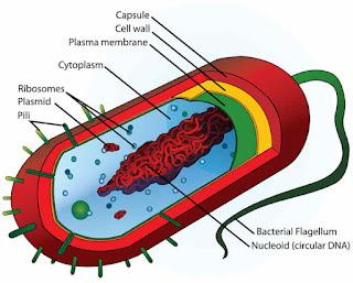 Struktur Sel Bakteri Dan Fungsinya