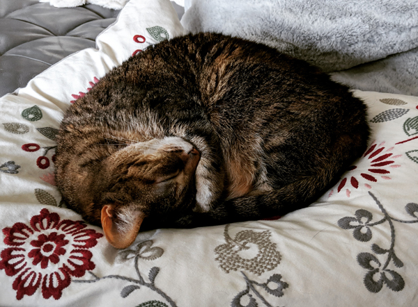 image of Sophie the Torbie Cat curled up in a ball asleep on a pillow on the sofa