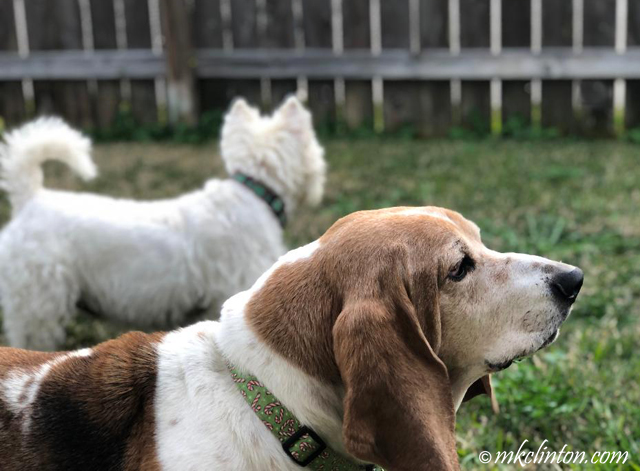 Basset and Westie in yard