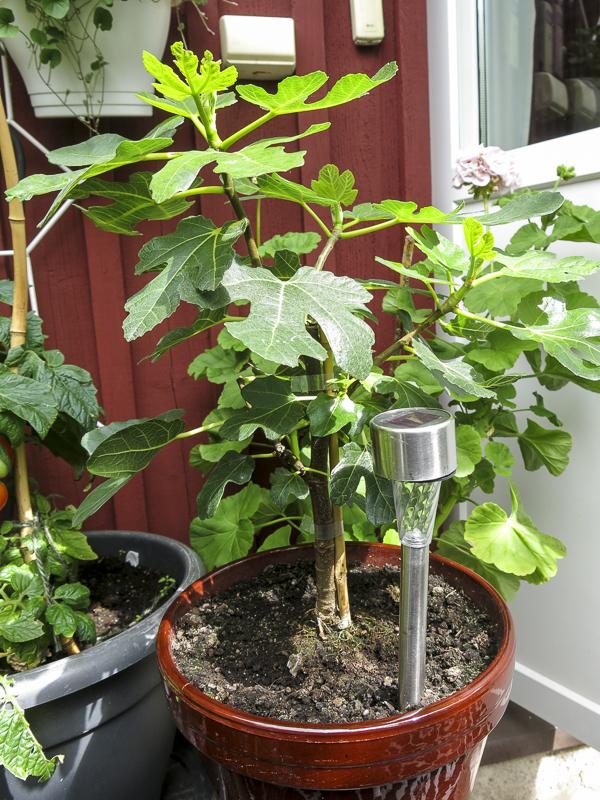 fikonträd, figtree