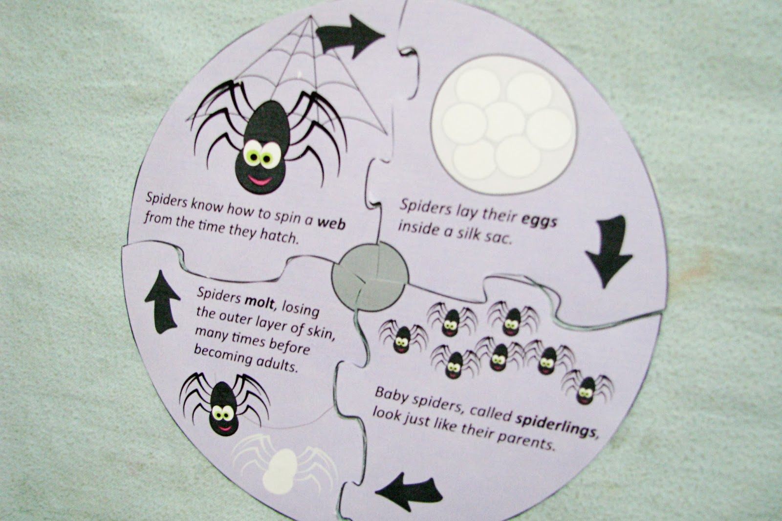 Spider Life Cycle Worksheet