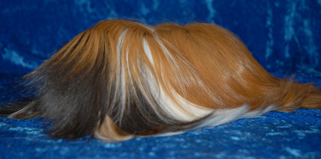 how to cut matted guinea pig hair