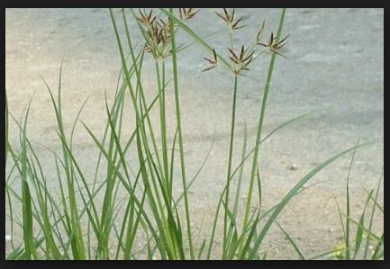 Pengertian Rumput Teki (Cyperus rotundus) Klasifikasi dan Morfoologinya