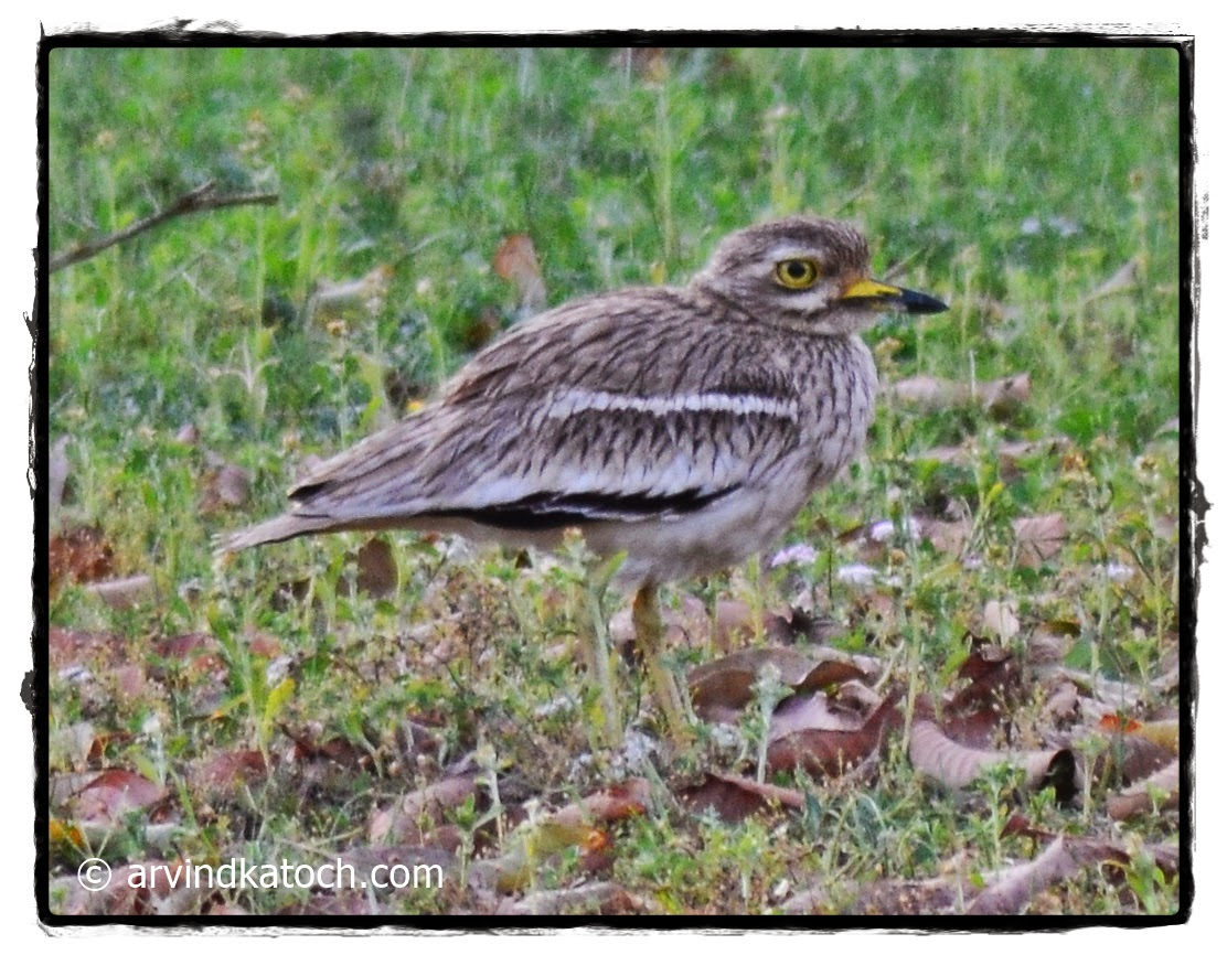 Stone-curlew, female,