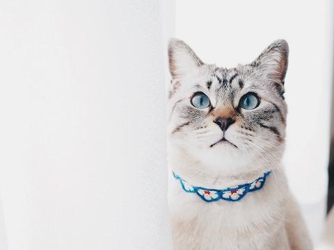 レースカーテンのそばに佇むシャムトラ猫