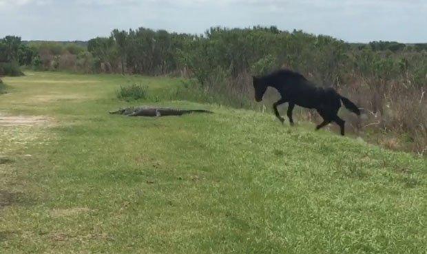 Un caballo ataca a un cocodrilo