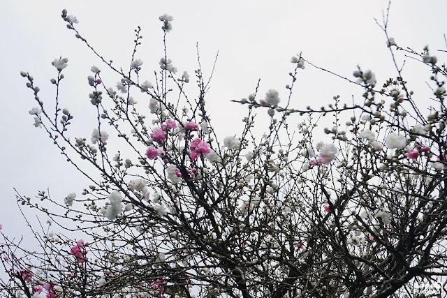 柳川の川下り、桃の花、福岡