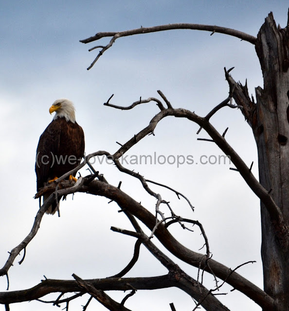 The bald headed eagle is watchful of all around him