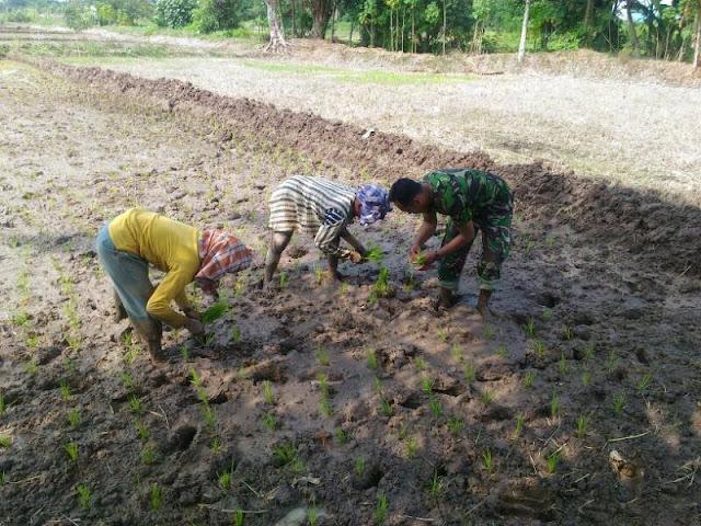 Sertu Berman Sagala Bersama Petani Lakukan Penanaman Tanaman Padi di Desa Nagar Beringin