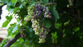 Anggur Buah Dalam Al Quran Dan Manfaatnya