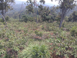 Pearl Guava Field