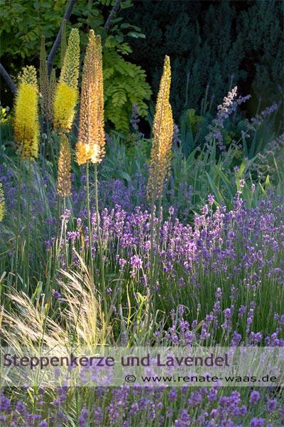 mediterranes Blumenbeet mit Lavendel, Eremurus - Steppenkerze - Nassella - Federgras und Salbei - Salvie