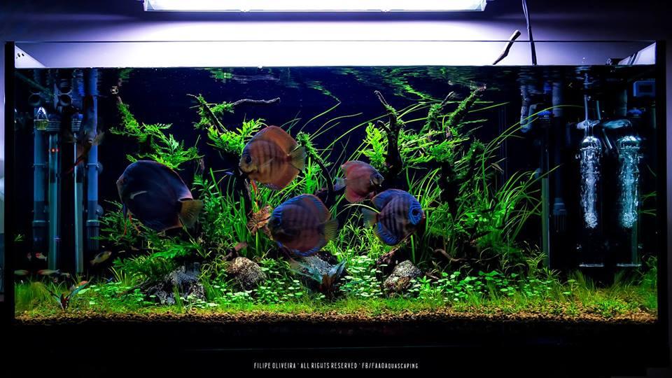 bể thủy sinh cá dĩa của tác giả Filipe Oliveira