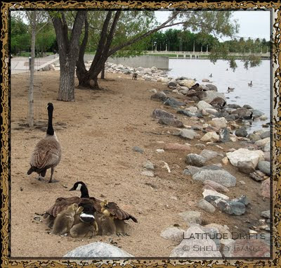 Canada goose with goslings under her wings