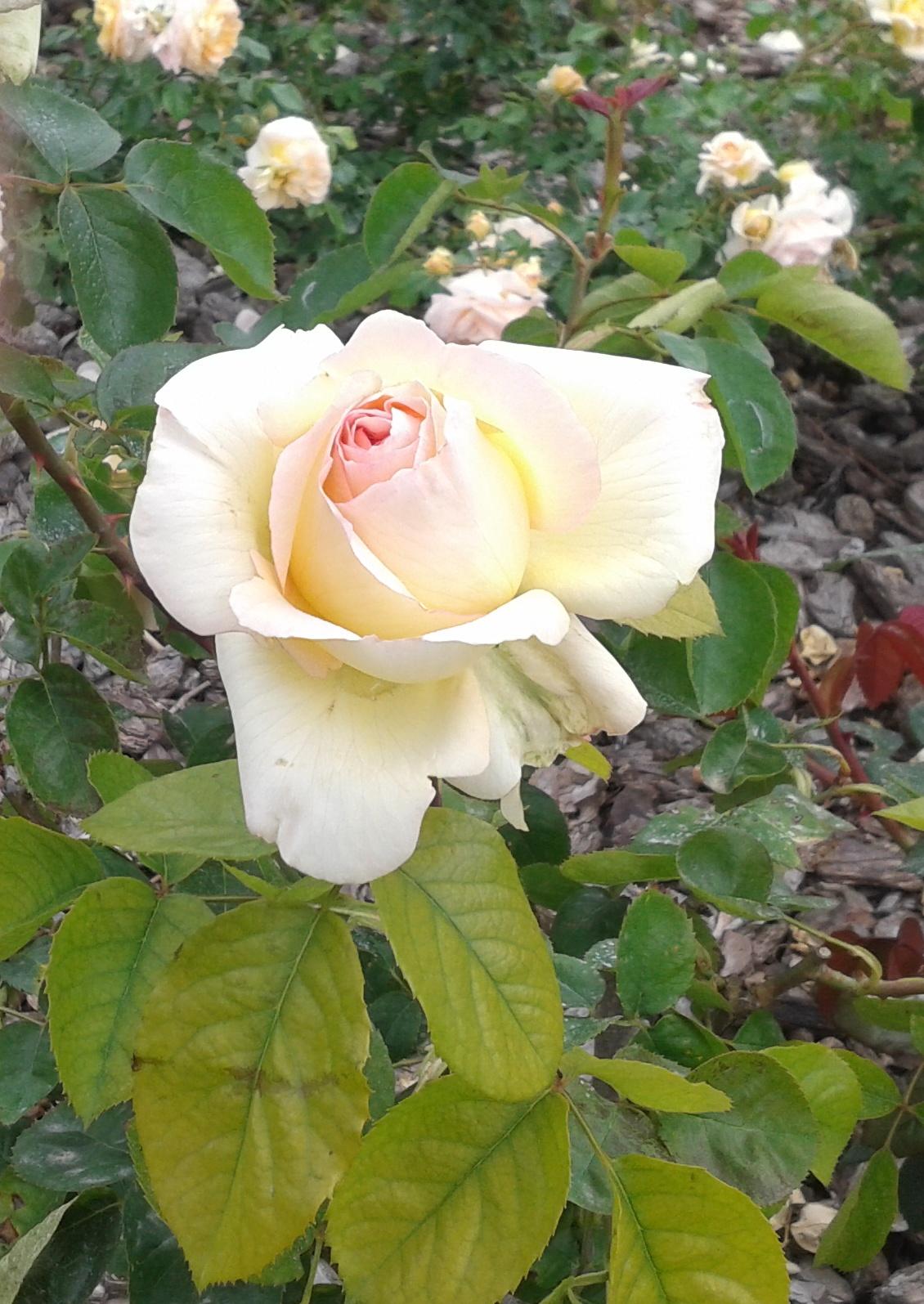 Lastima se caso rosa estela - 3 2