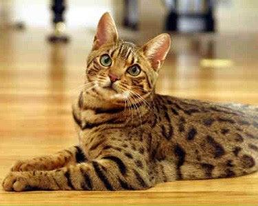 Resultado de imagem para gatos tigrados amarelos