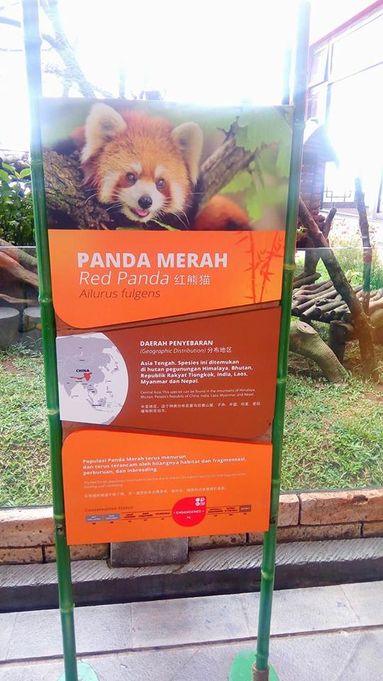 Panda Merah di Istana Panda Taman Safari Indonesia
