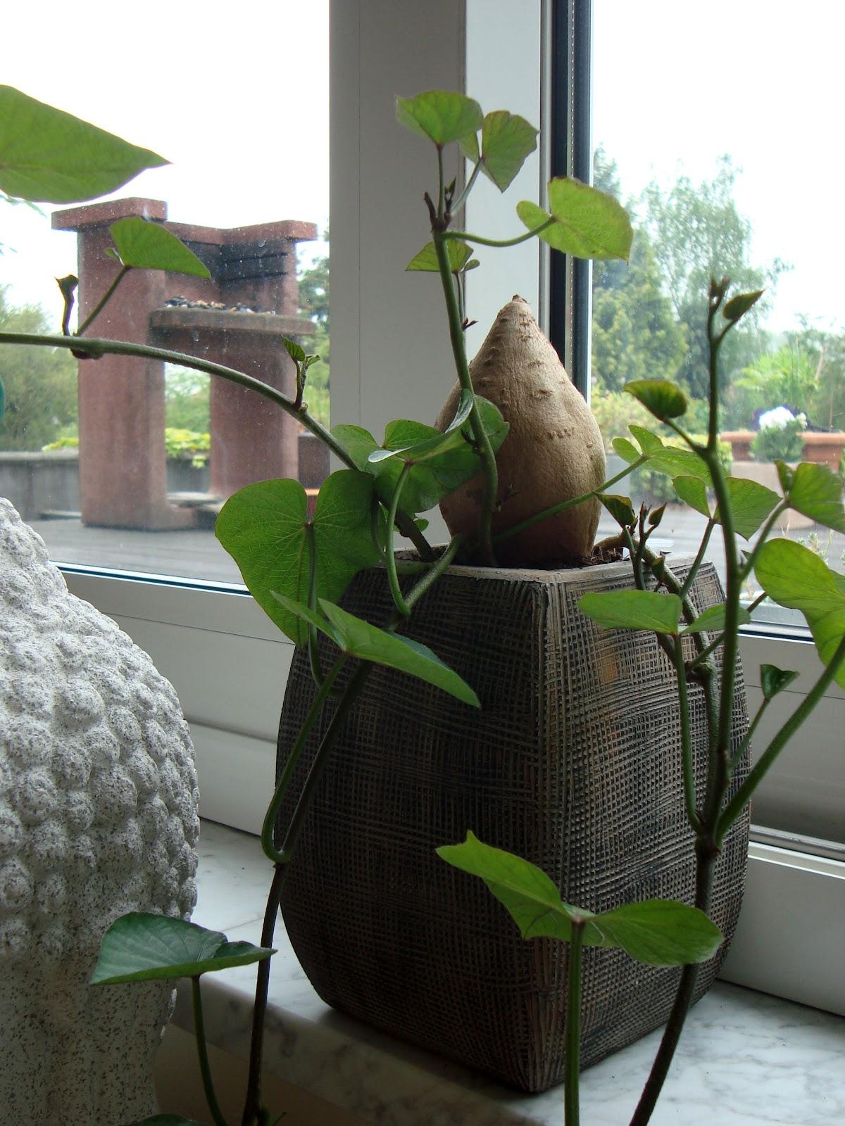 xx garden la patate douce. Black Bedroom Furniture Sets. Home Design Ideas