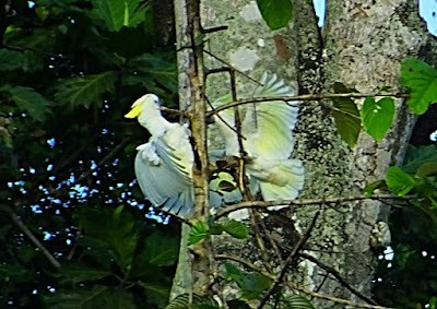 Sulphur crested Cockatoo or White Cockatoo