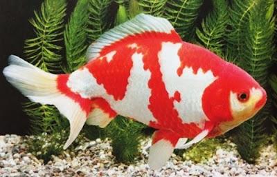 Gambar Ikan Mas Koki Wakin