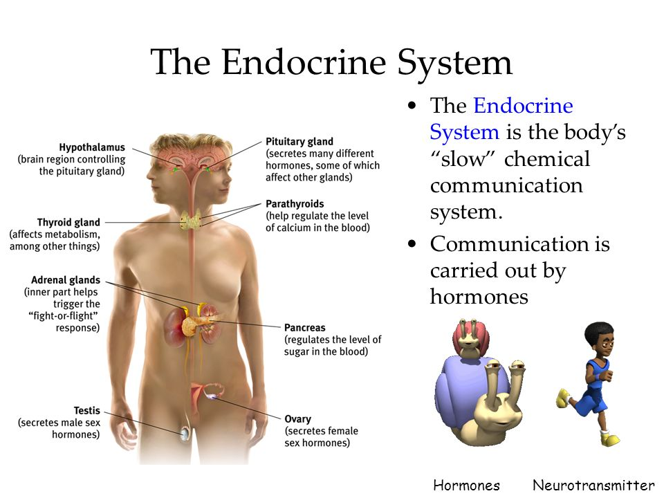 effects of endocrine glands n human behaviour Human behavior is governed by two interdependent systems: the nervous system and the endocrine system  table i principal endocrine glands and hormones anterior pituitary gland  through its effects on other endocrine glands anatomically, the gland consists of two distinct com-ponents, the anterior pituitary (adenohypophysis) and the.