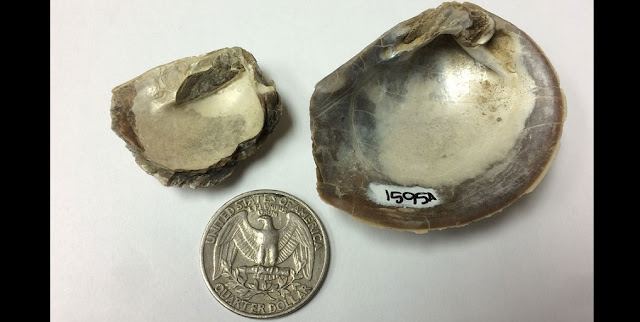 The preservation of Cretaceous mollusk fossils from Seymour Island is excellent, with shells preserving original mother-of-pearl material as in these two specimens of Eselaevitrigonia regina. Photo credit: Sierra V. Petersen.
