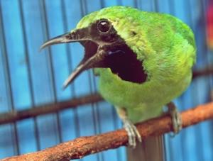 Cara Mudah Membedakan Burung Cucak Ijo Jantan dan Betina Yang Masih Muda