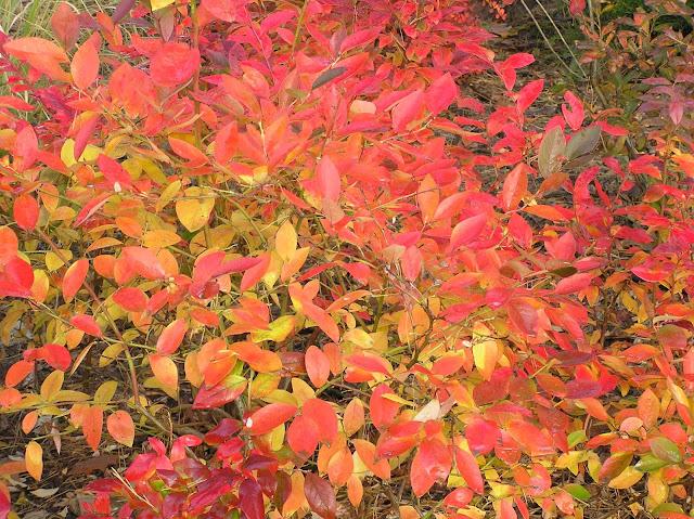 jesienne przebarwienia liści