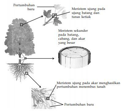 Hubungan antara bentuk dan fungsi jaringan pada tumbuhan pustaka letak beberapa jaringan meristem pada tumbuhan ccuart Choice Image