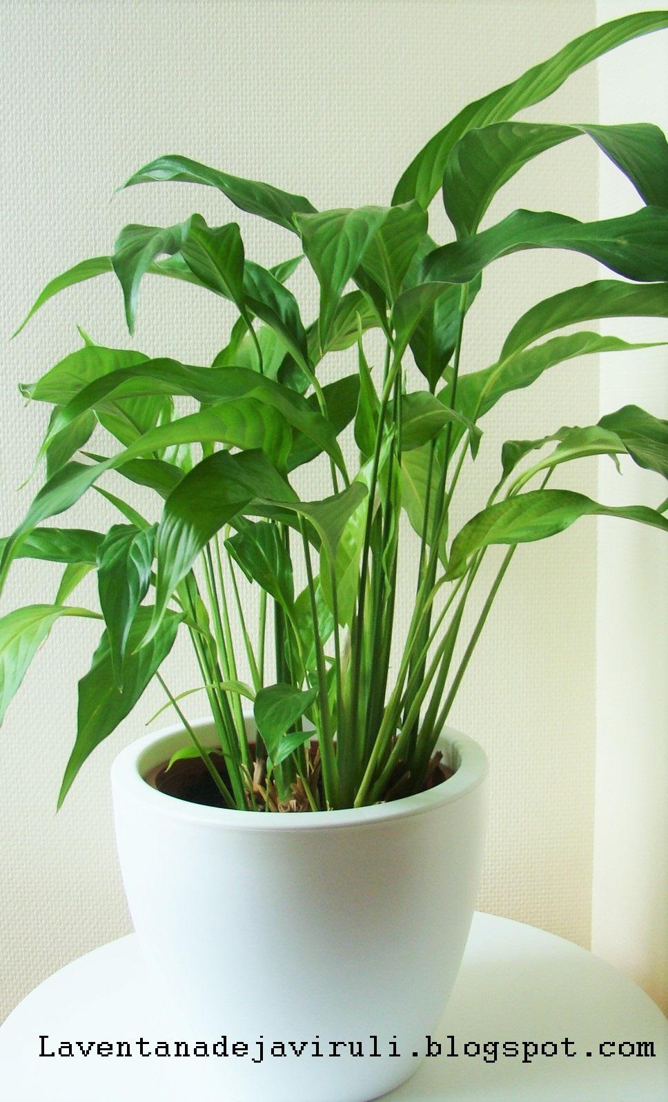 La ventana de javiruli plantas de interior 40 espatifilo cuna de moises spathiphyllum - Planta cuna de moises ...