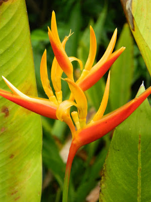 Heliconia psittacorum at Orchid World Barbados by garden muses-not another Toronto gardening blog