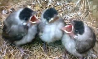 dikenal sebagai burung cerdas yang sanggup menirukan bermacam-macam type burung pengicau yang lain Tips Jitu Merawat Burung Pentet Lolohan