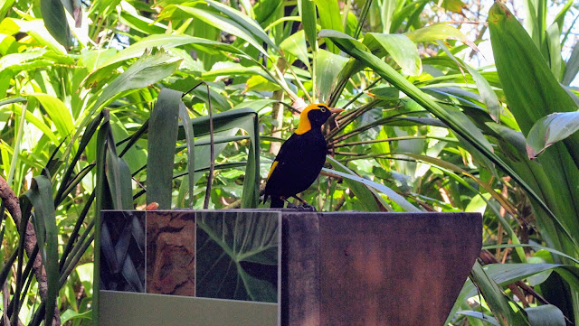 Taronga zoo images: yellow and black bird