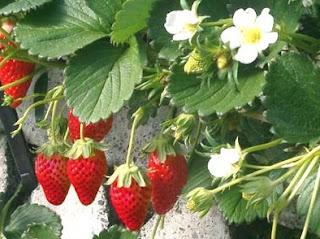 7 Manfaat Buah Strawberry Bagi Kesehatan