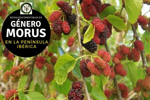 Lista de Especies del Género Morus, Morera, Familia Moraceae en la Península Ibérica