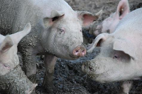 Jika Haram, Untuk Apa Babi Diciptakan?