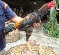 ayam bangkok muda
