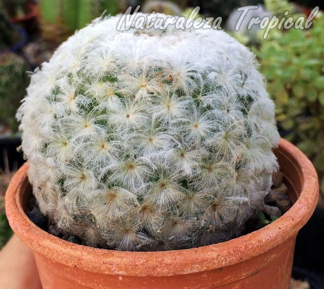 Fotografía del popular cactus Bola de Nieve, Mammillaria plumosa