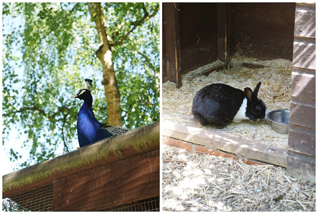 left: a male peacock sits on the roof, right: a black and white rabbit in his hutch