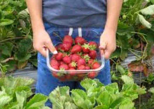 cara menanam pohon strawberry di pot