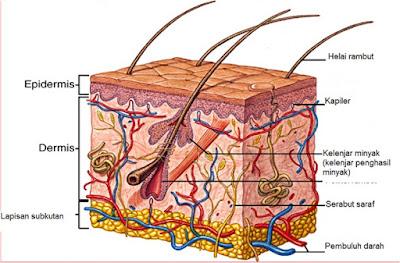 Kulit dan bagian - bagian struktur kulit - berbagaireviews.com