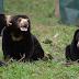 RAJA NUSANTARA | BANDAR TOGEL TERPERCAYA | Menjerat 3 ekor beruang , 4 orang ini mengkonsumsi nya menjadi rendang , bahkan sup dan obat tradisional